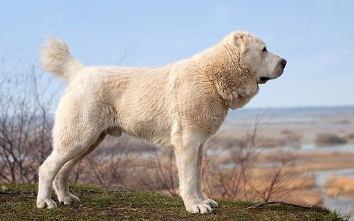 Казахская овчарка (тобет)