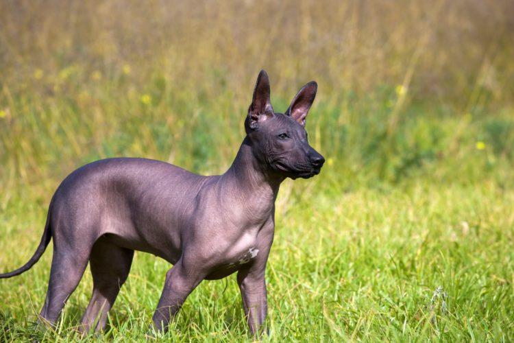 Мексиканская голая собака (ксолоитцкуинтли)