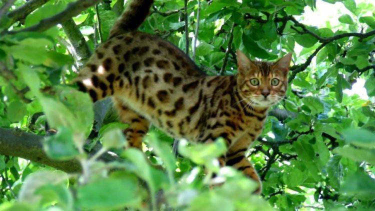 Уссурийская кошка