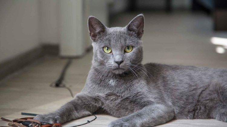 Породы голубых кошек