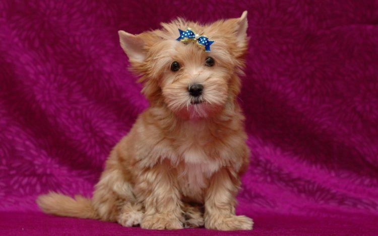 Русалка (русская салонная собака)
