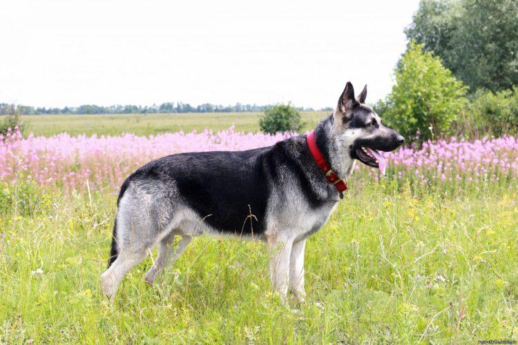 ВЕО (восточно-европейская овчарка)