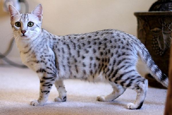 Египетская мау кошка