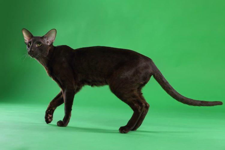 Гавана браун кошка