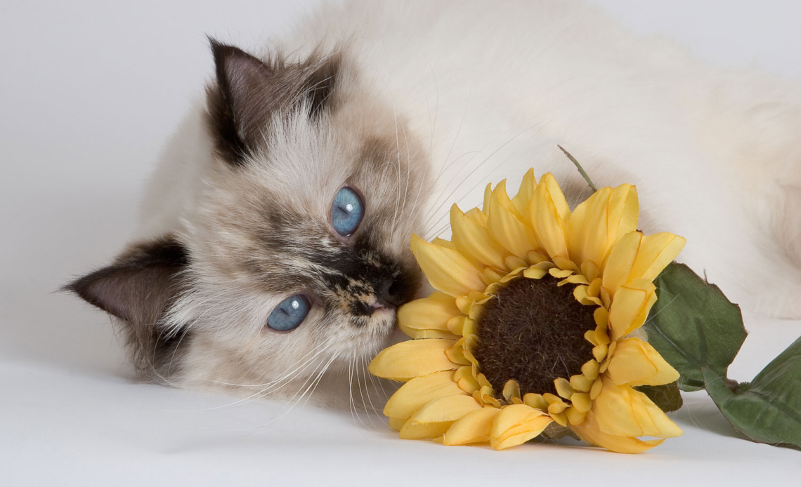 Можно ли кошкам семечки