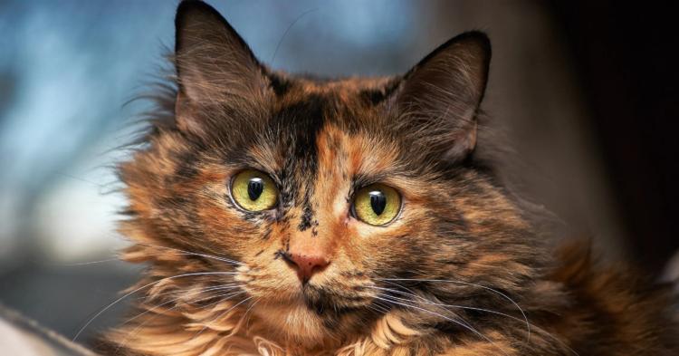 Кошки с черепаховым окрасом
