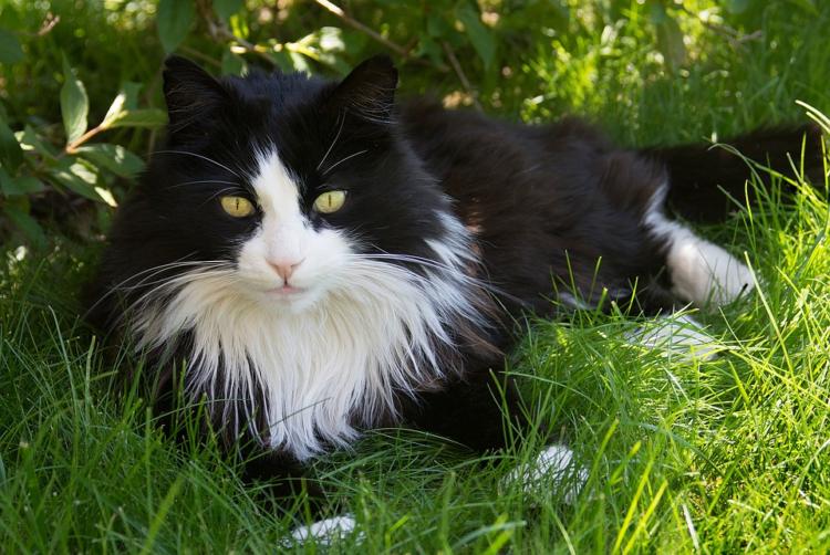 Немецкая длинношерстная кошка