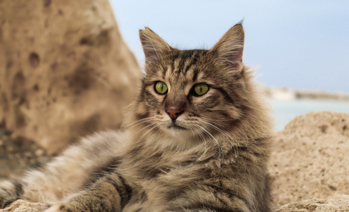 Немецкие породы кошек