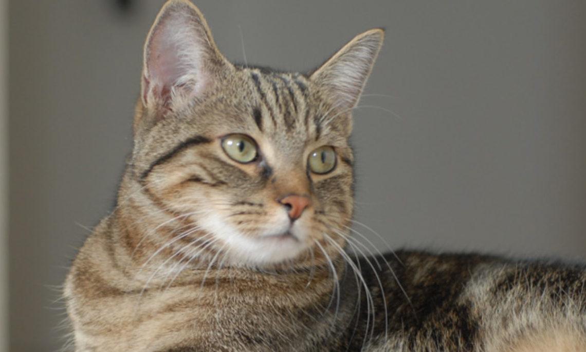 Европейская короткошерстная: описание породы кошек и окрас