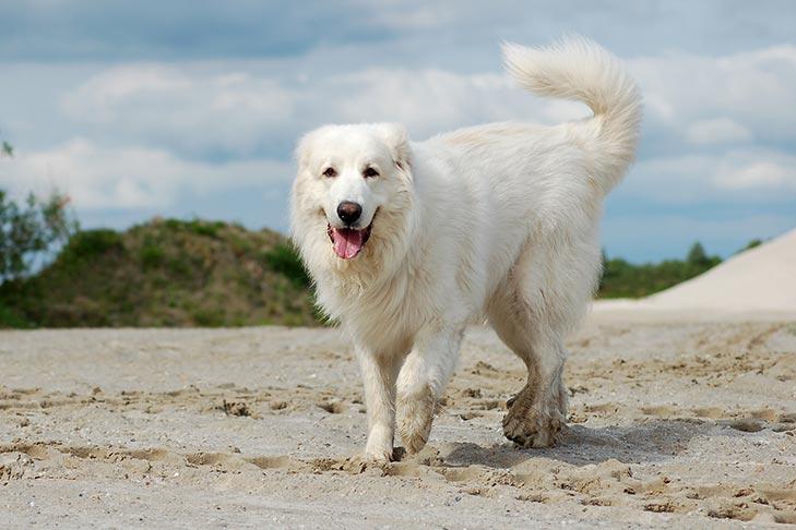 Пиренейская горная собака (большой пиреней)