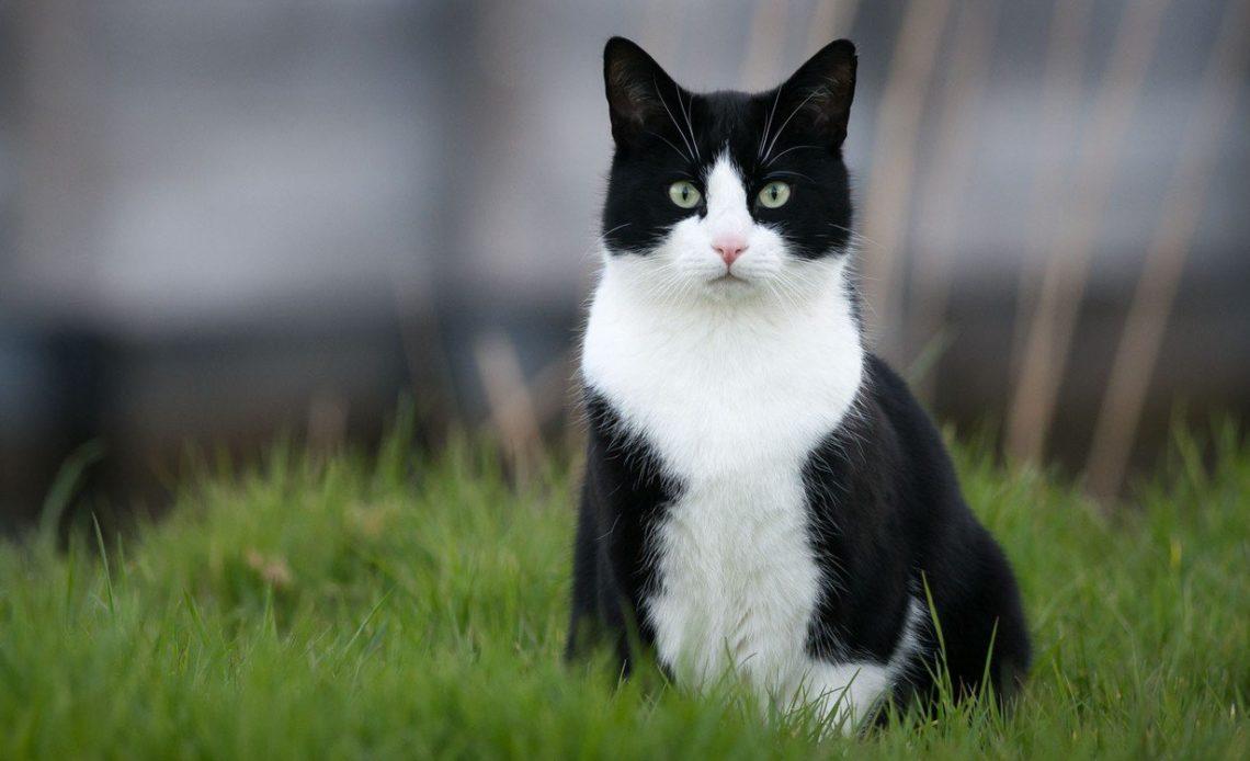 Черно белая кошка порода - 53 фото - картинки: смотреть онлайн