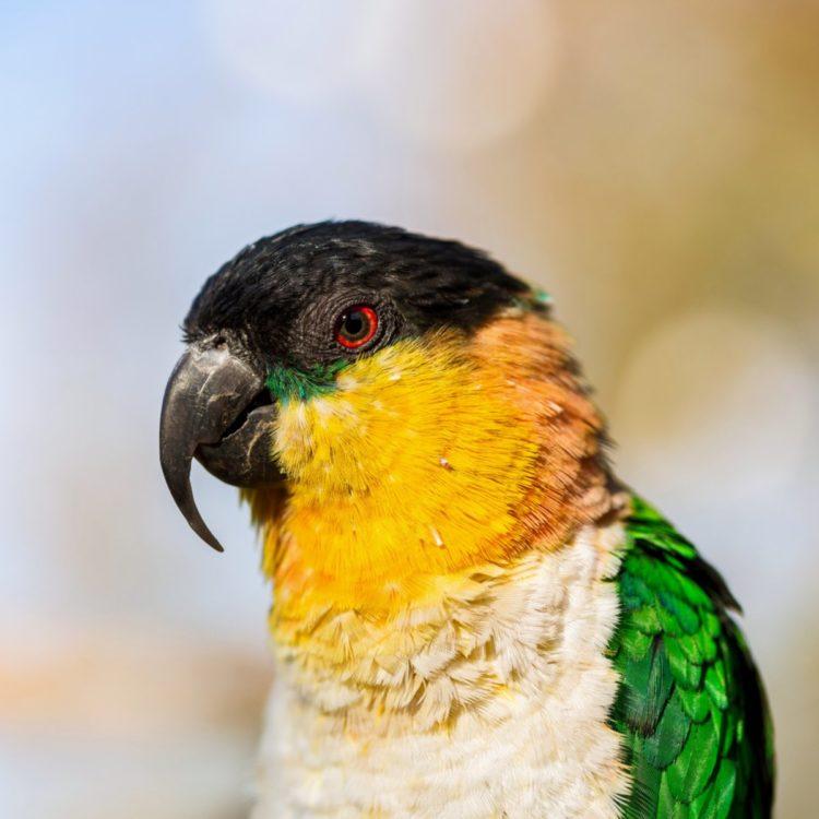 Попугай каик