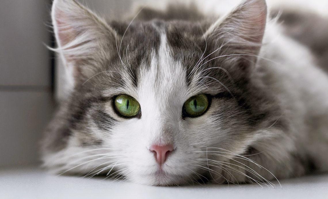 Капли для глаз для кошек
