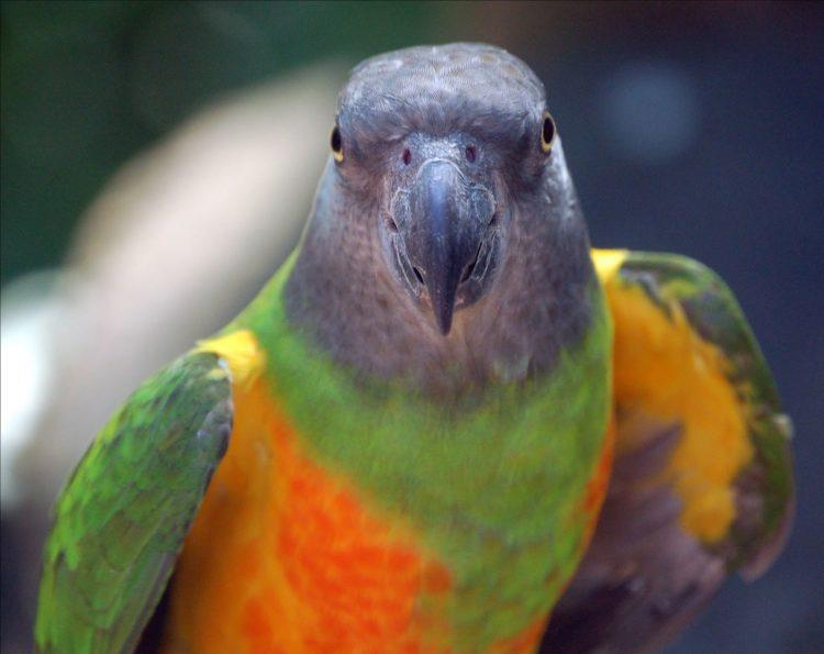 Сенегальский длиннокрылый попугай