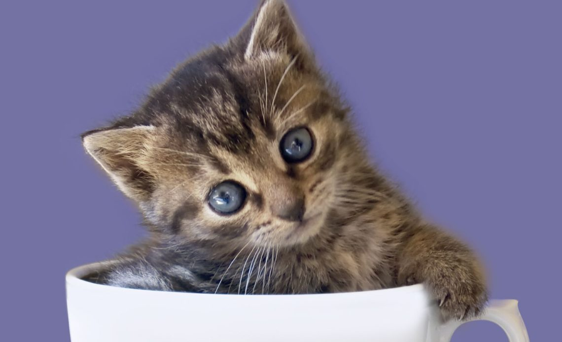 Можно ли кошкам чай