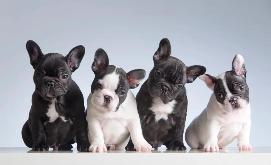 Французские породы собак