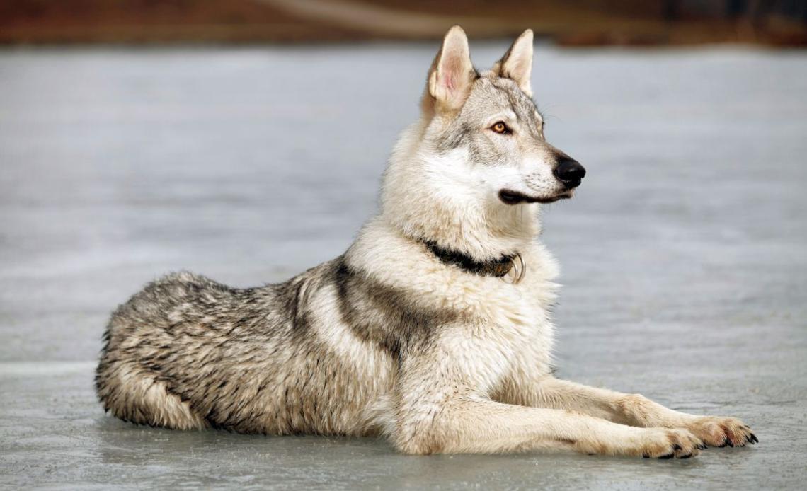 Породы собак похожие на волков