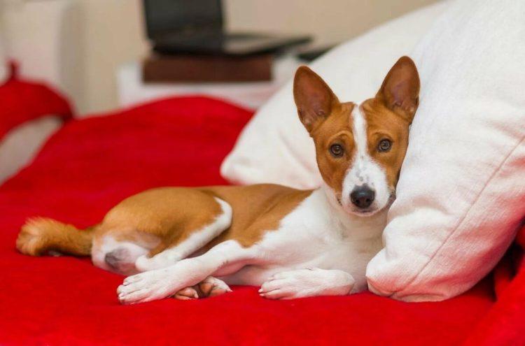 Средние породы собак для квартирного содержания