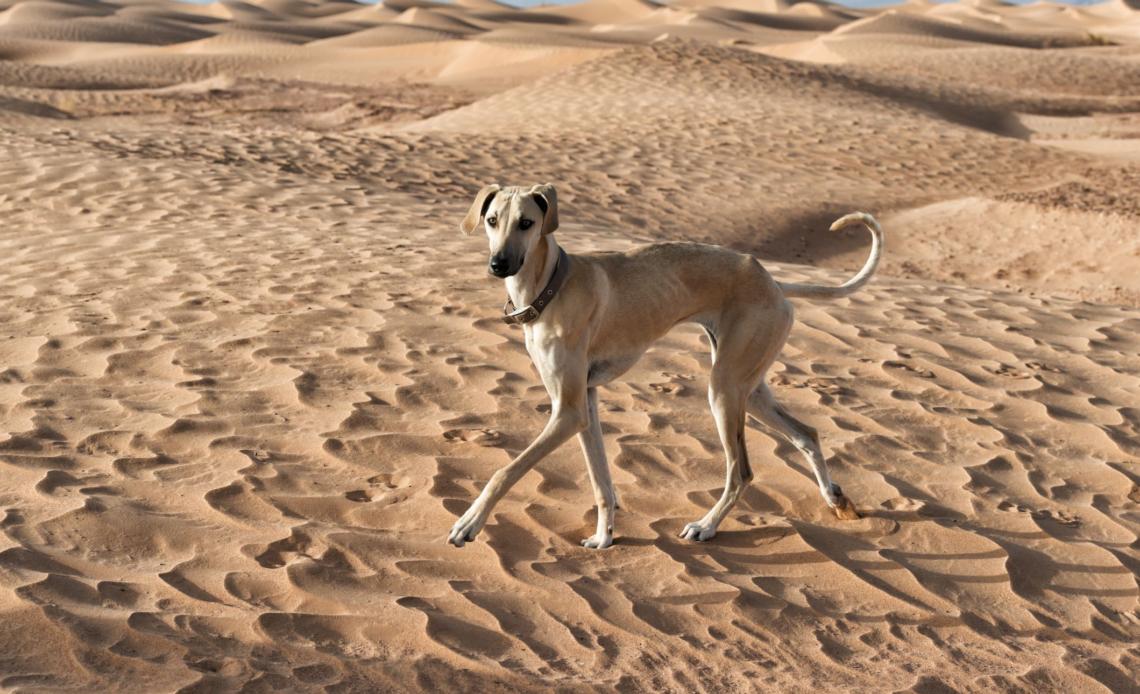 Африканские породы собак
