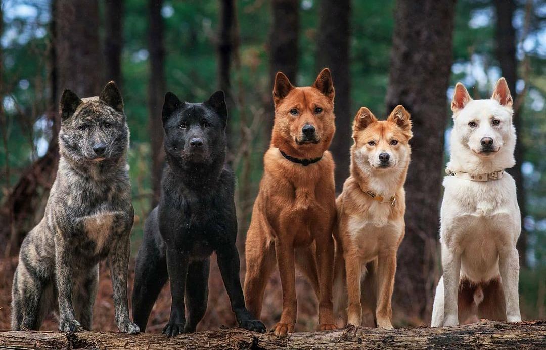 Корейские породы собак