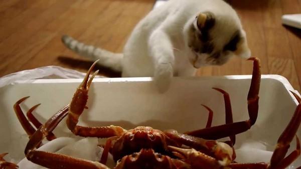 Если животное случайно съело твердые части краба, необходимо посетить ветеринарную клинику.